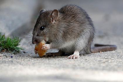 Полчища гигантских крыс атаковали шведский город