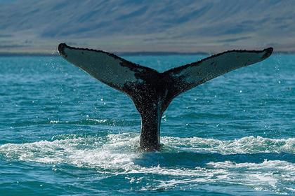 Австралиец заснял выпрыгнувшего из воды 20-тонного кита
