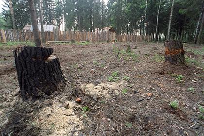Российских чиновников наказали за рубку сосен