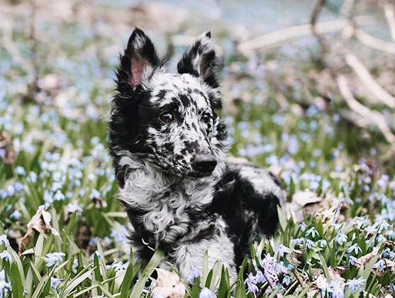 Пятнистая овчарка Ида просто обожает скорость. Ее хозяйка Саманта, дрессировщица собак, ведет блог любимого питомца и снимает Иду во время их совместных приключений. Больше всего собаке нравится ходить восьмеркой между ног Саманты, позировать для снимков, обнимать друзей-собак и запрыгивать хозяйке на руки.