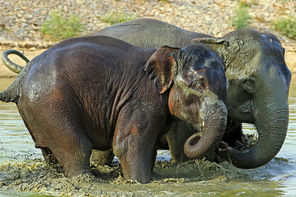 Пятеро слонов затоптали тайца насмерть