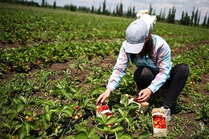 Урожай клубники вПодмосковье возрастет на20% в нынешнем году