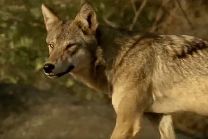 Редкого индийского волка спасли от голодной смерти
