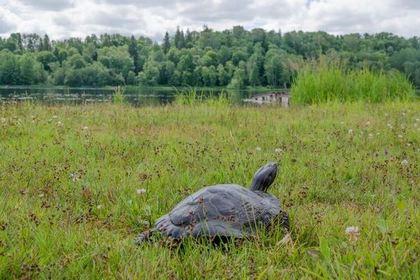 Сбежавшая черепаха вернулась к эстонцу спустя три года