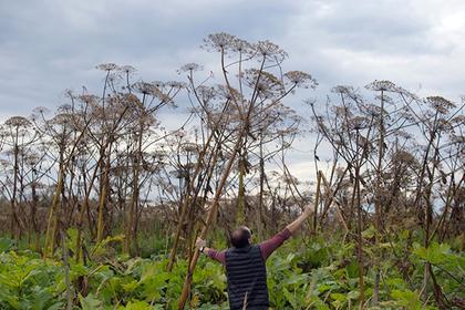 Готовьте млн: вПодмосковье хотят облагать штрафом землевладельцев зарастущий борщевик