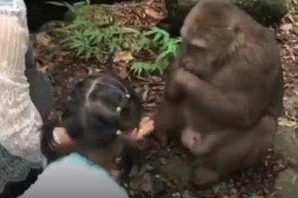 Неблагодарная обезьяна повалила ударом кормившую ее девочку