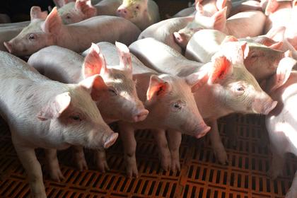 Активист захотел спасти свинью от убоя и не смог