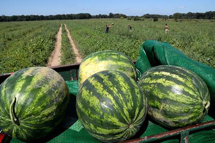 Власти Подмосковья анонсировали арбузный сезон