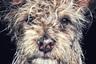 Первое место, номинация «Животные»<br>«Джанго — терьер из храма Шаолинь, который родился и вырос в буддийском монастыре в северной провинции Хунань, Китай. Джанго любит длительные прогулки по пляжу и слушает Майлза Дэвиса».<br>Карлсбад, Калифорния<br>Снято на iPhone 7 Plus
