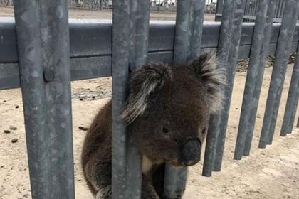 Любопытную коалу спасли от удара электротоком