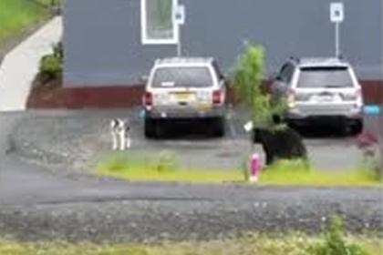 Погоню медведя за дружелюбной собакой сняли на видео