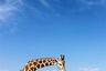 Может показаться, что снимок сделан на сафари в Африке. В действительности его автору, американке Аманде Майкранц, даже не пришлось покидать родной Техас. Она встретила жирафов в парке диких животных Фоссил-Рим. Там содержат сотни редких зверей и птиц, в том числе гепардов, несколько видов волков, газелей, бизонов, страусов и броненосцев.