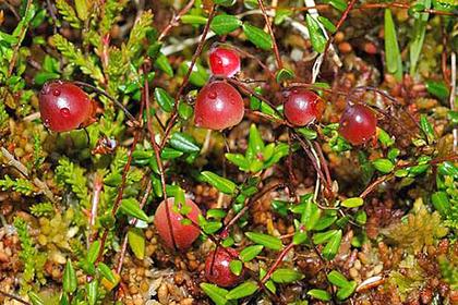 Краснокнижная ягода обнаружена на севере Московской области
