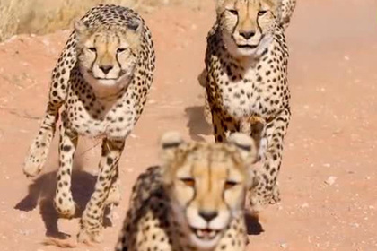 Четыре гепарда набросились на самку на глазах у изумленного фотографа