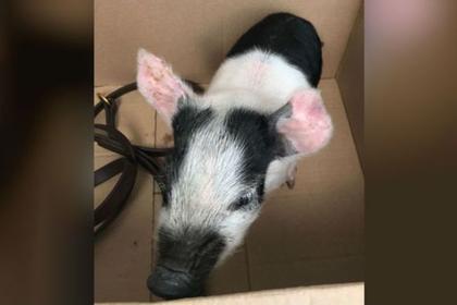 Британец пустил свинку погулять на улице и угодил под суд