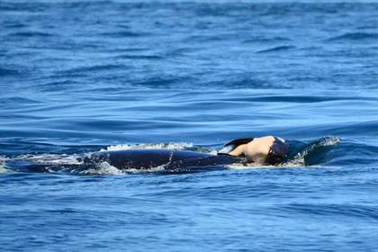 Косатка-мать проплыла полторы тысячи километров с мертвым детенышем