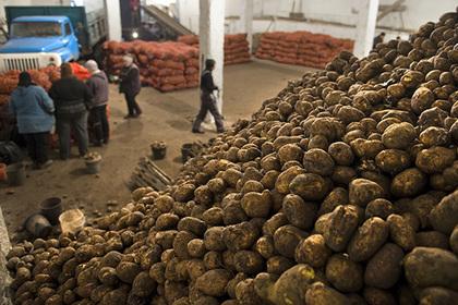 Уборка картофеля началась в Подмосковье