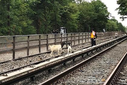 Козы помешали работе метро Нью-Йорка