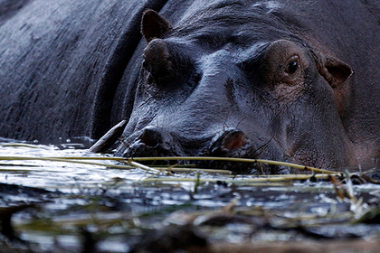 Бегемот убил спасшегося от крокодила рыбака