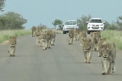 Полтора десятка львов вышли на дорогу