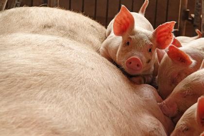 Армения запретила свинину из России из-за африканской чумы