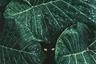 После сильного ливня мексиканский фотограф Родриго Гузман решил снять капли на листьях и не сразу понял, что кто-то смотрит на него из-под них. «Меня вдохновило ощущение таинственности, которое возникает, когда видишь что-то скрытое в этих тенях», — говорит он.