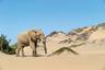 По словам Полицы, слоны, обитающие в Намибии, — настоящие мастера выживания, так как найти пресную воду в пустыне практически невозможно.
