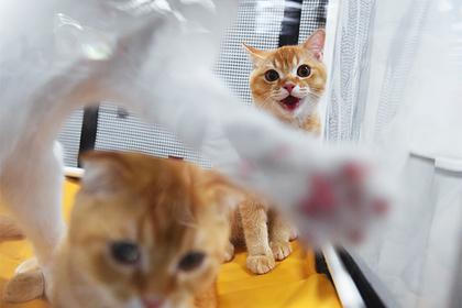 В Новой Зеландии надумали запретить домашних кошек