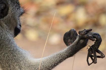 Скорбящую обезьяну сфотографировали с мертвым детенышем на руках