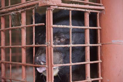 Пять гималайских медведей более 20 лет терпели пытки в ржавых клетках