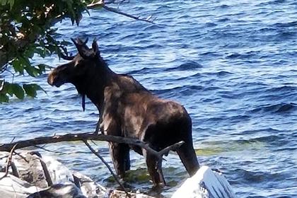 Назойливые туристы стали причиной смерти лося