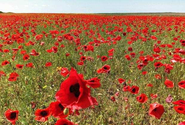 В мае цветут маки. Если вы оказались в Крыму в это время, стоит потратить день, чтобы буквально искупаться в красном море.