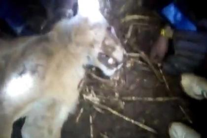 Картинки по запросу Корова задушила напавшего на нее льва