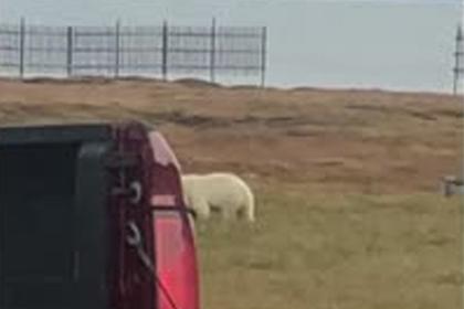 Храбрый пес обратил в бегство белого медведя