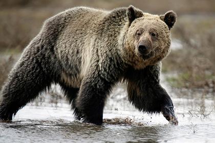 Раненый охотник бросил товарища на съедение медведю и сбежал