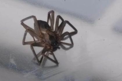 Десятки ядовитых пауков подпортили новоселье американке