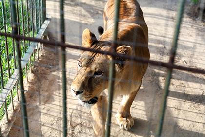 Преступник запрыгнул в клетку ко львам и отделался укусом пальца
