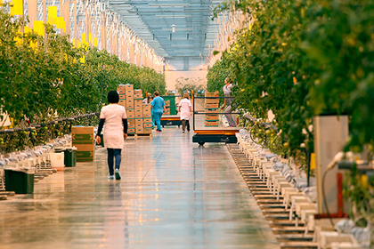 Тепличный комплекс для круглогодичного выращивания овощей построят в Подмосковье