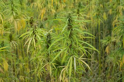 В Азии впервые задумались о легализации марихуаны