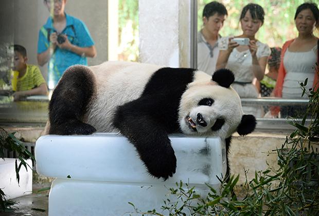Панда в зоопарке города Ухань