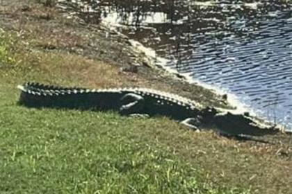 Гребнистый крокодил полгода прятался в канализации и попался