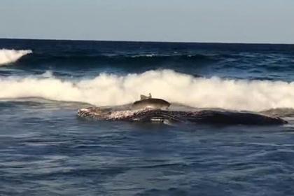 Акула выбросилась на берег ради еды