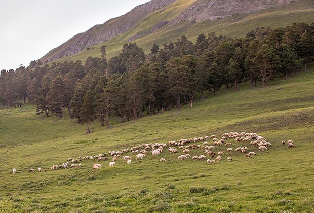Из поколения в поколение сильдинцы пасут скот: коз, коров, овец