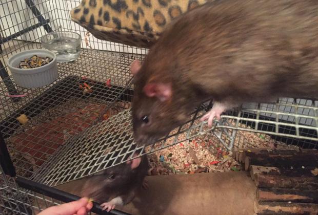Крысы Зардулу