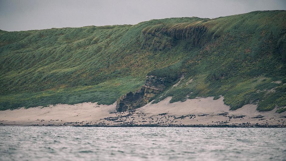 Северо-западное лежбище котиков на острове Беринга