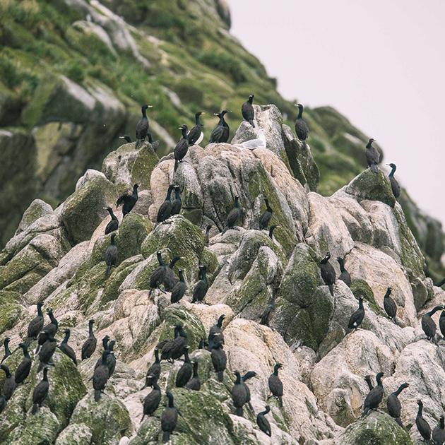 Бакланы на острове Арий камень
