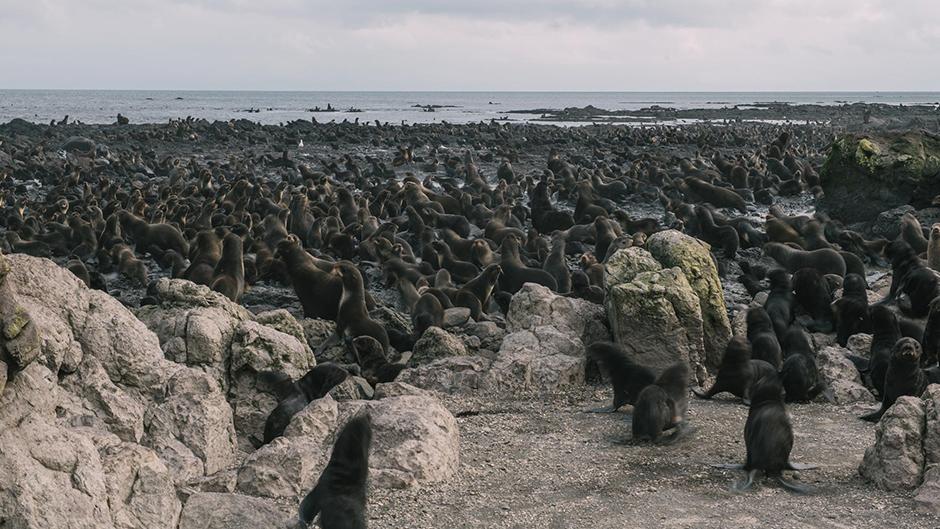 На лежбищах во время отлива рифы полностью покрыты котиками