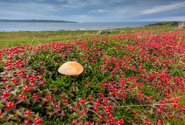 Сентябрь на Кольском полуострове —сезон грибов и ягод, когда тундра окрашивается в яркие краски. На каждой остановке нашей колонны мы лакомились морошкой, клюквой и черникой.