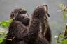 Испанский фотограф Рикардо Монтеро снял гориллу с мертвым детенышем в Уганде. Проводники объяснили ему, что тот родился в непогоду и вскоре погиб от холода. Мать отказывалась в это верить и несколько недель не расставалась с телом.