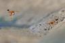 Джорджина Стейтлер приехала в заповедник в Западной Австралии, чтобы фотографировать птиц, но ее отвлекли осы. Они копошились у берега водоема, катая шарики из грязи для строительства гнезда.